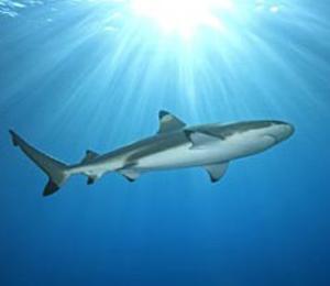 Key West Blacktip Shark