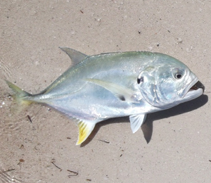 Key West Jack Crevalle