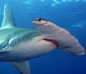 Key West Hammerhead Shark