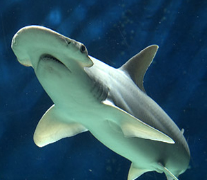 Key West Bonnethead Shark