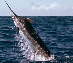 Key West Blue Marlin