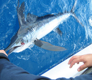 Key West White Marlin