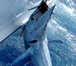 Key West Billfish