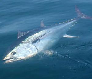 Key West Atlantic Bluefin Tuna