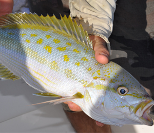 Mangrove Snapper Spawn In July